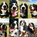 Tounge out berners