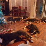 Christmas with a house full of berners!