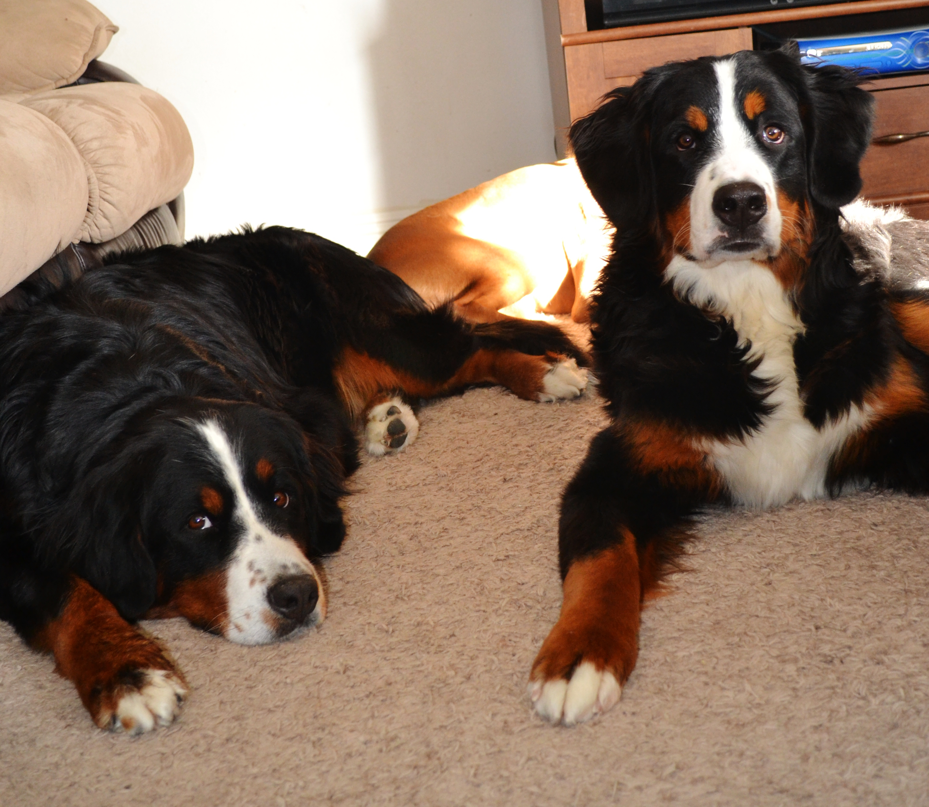 Wccs Bernese Mountain Dog Puppies