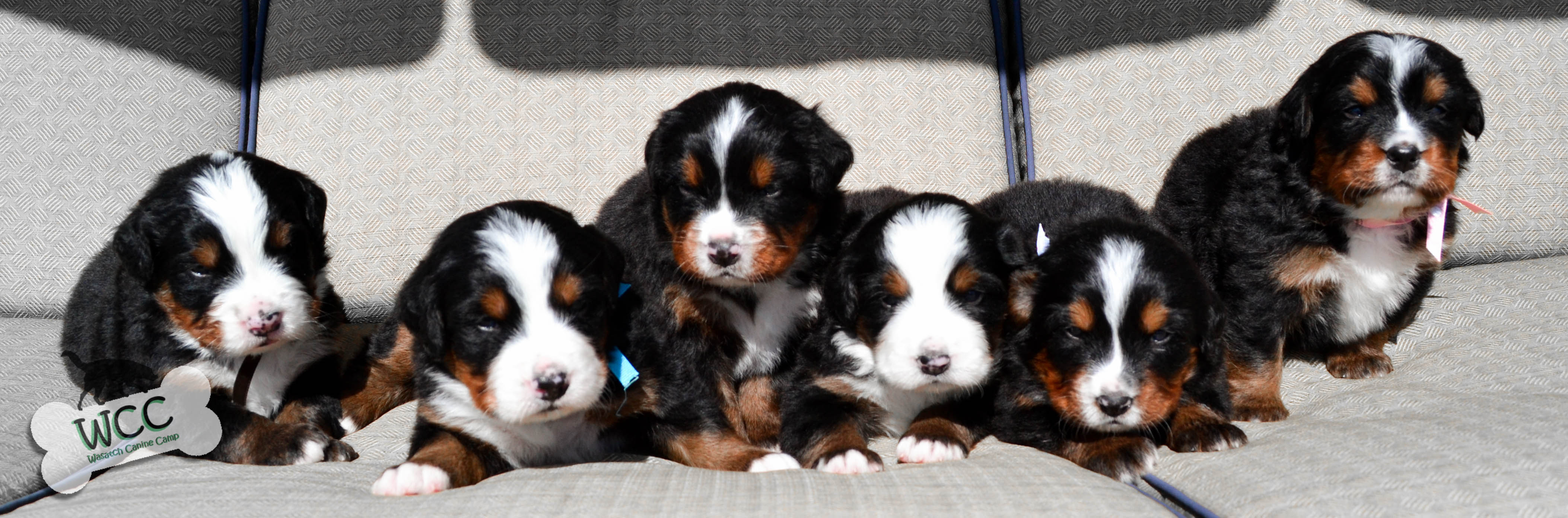 Puppies Wccs Bernese Mountain Dog Puppies