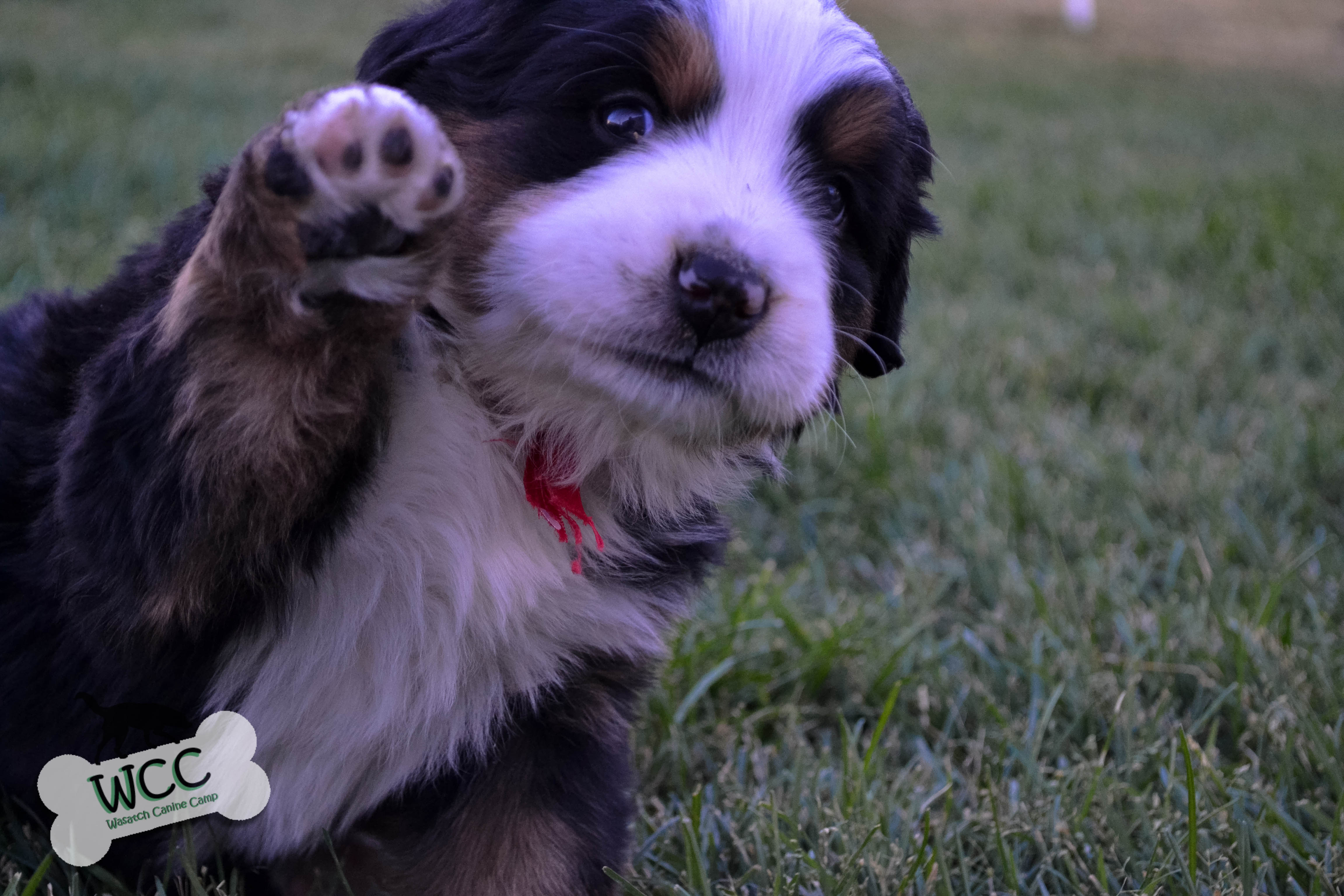 WCC s Bernese Mountain Dog Puppies
