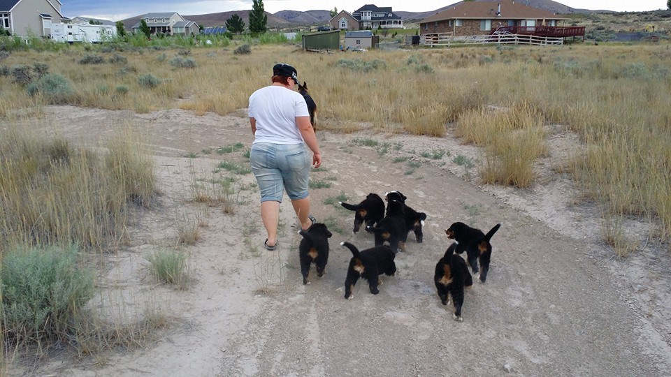On a pack walk with litter E at 7 weeks old