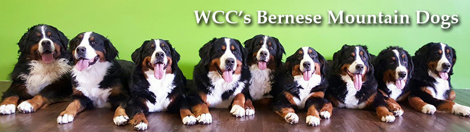Nutrition Wccs Bernese Mountain Dog Puppies